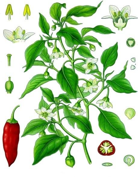 Pimenta (Capsicum ssp.)