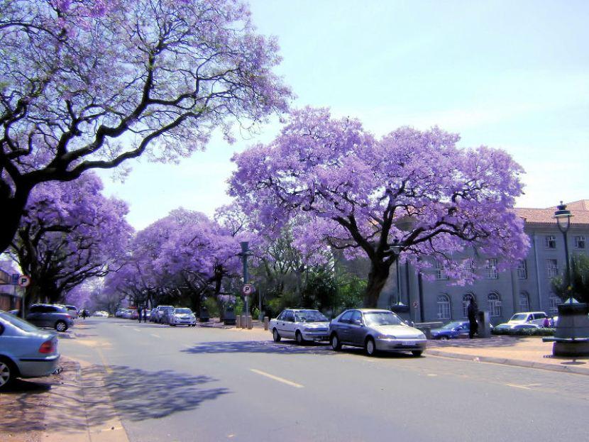 PASAŻ JACARANDAS W RPA