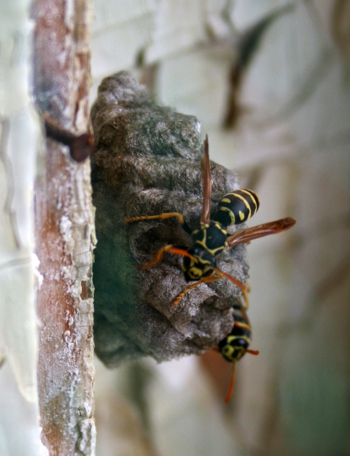 Wasps with their nest