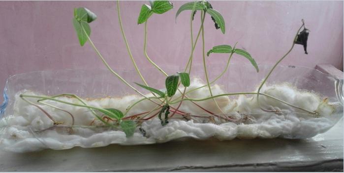Biologi Kelompok 4 Xii Mia 5 Sma Negeri 4 Jambi Pertumbuhan Kacang Hijau Pada Media Kapas Dan Tanah