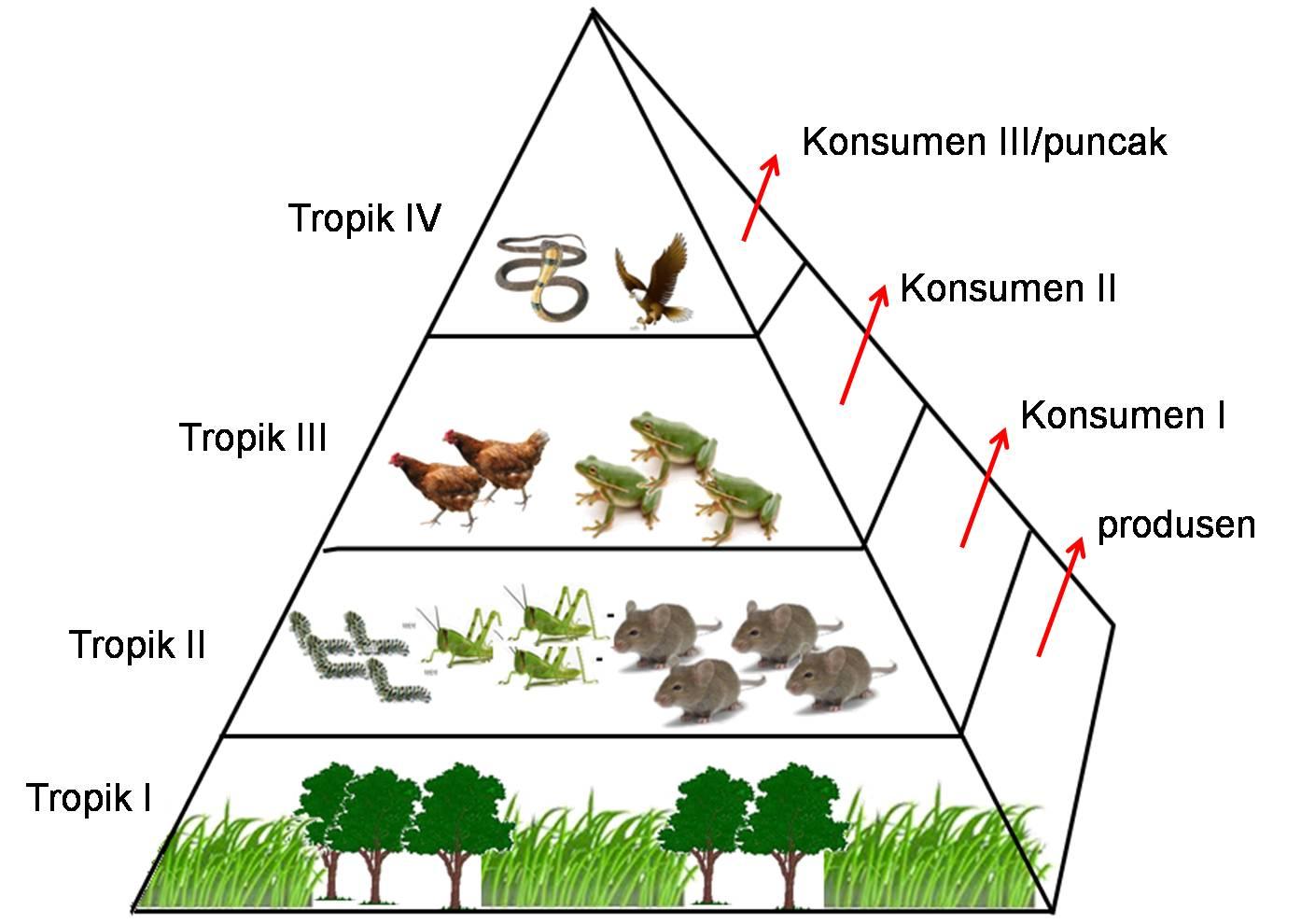 Ekosistem : Rantai Makanan dan Jaring-Jaring Makanan