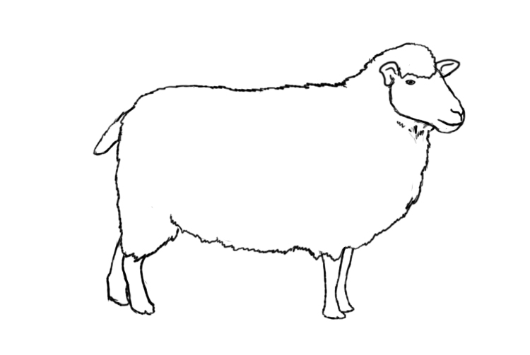 How to draw a sheep - photo#3