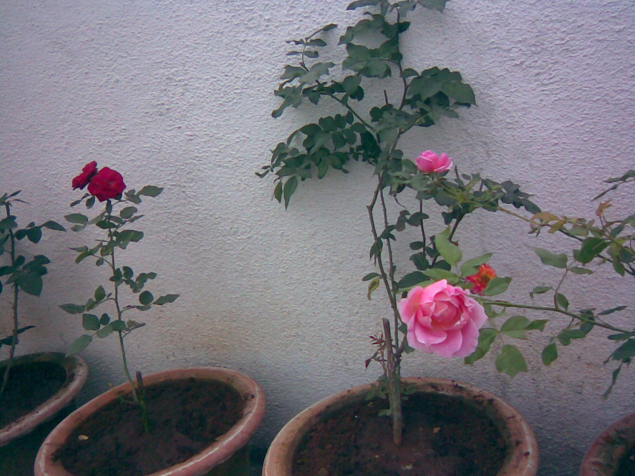 http://2.bp.blogspot.com/-EvEBnMKoxwI/TcUlUen07II/AAAAAAAABHY/XwGbY2Ytrk0/s1600/pink+red+roses+plant+in+my+garden+ree+pictures+of+roses%252C+rose+clipart+and+wallpaper.+Free+rose+greeting+cards.jpg