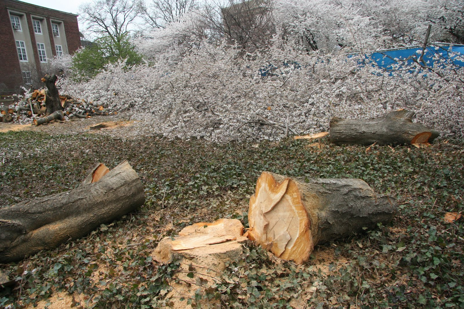 A walk in the park cherry blossom tree massacre in queens for 22 thai cuisine maiden lane
