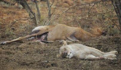 اسد يموت بعد افتراسه لغزاله .. اعرف السبب العجيب لذلك  -deer gazelle lion die after eating