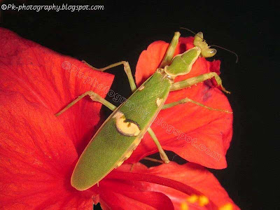 Jeweled Flower Mantis