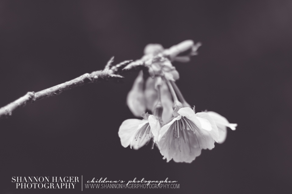 Cherry Blossoms in Okinawa by Shannon Hager Photography, Portland Photographer, Black and White