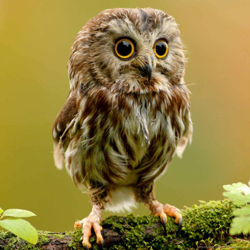 cutest owl ever