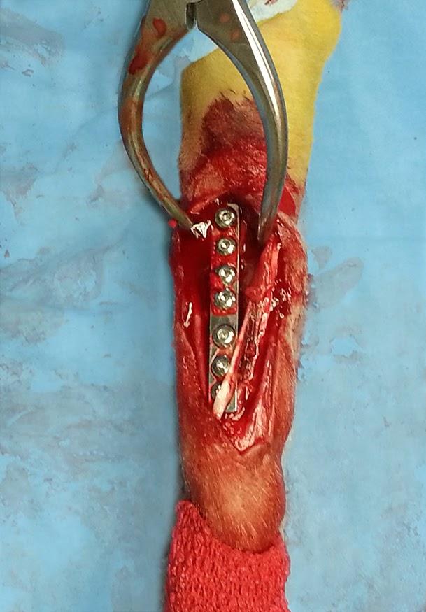 placa osteosíntesis cachorro