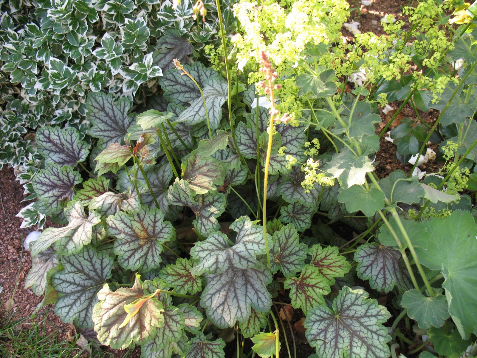 "Roses du jardin Chêneland: Heuchèra ""Green Spice"""