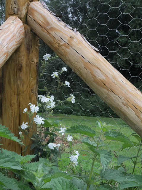 White campion growing in corner of wooden posts and chicken wire fence