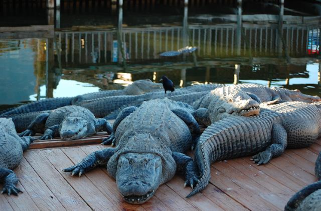 Parque Gatorland em Orlando