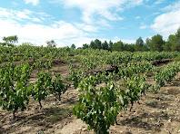 Vinya conreada a la catalana