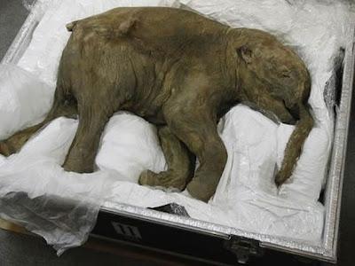 bebé mamut