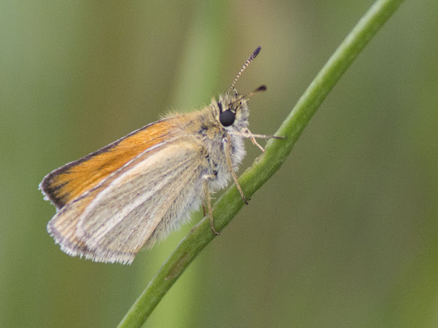 Essex Skipper, Thymelicus lineola.  Butterfly walk in Darrick and Newstead Woods, 23 July 2011.