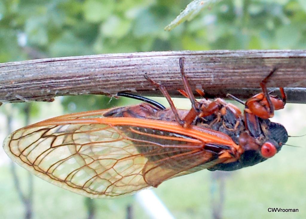 cicada eggs - photo #19