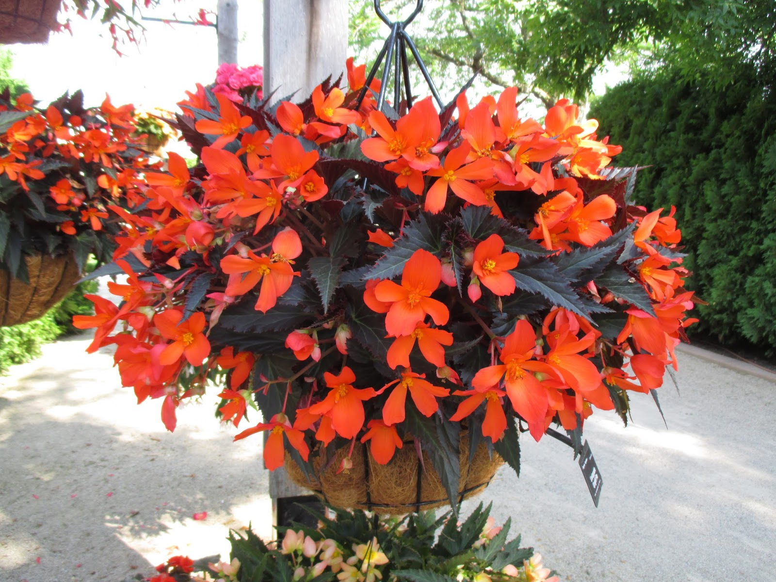 Begonia: home care for its comfortable life all year round 23
