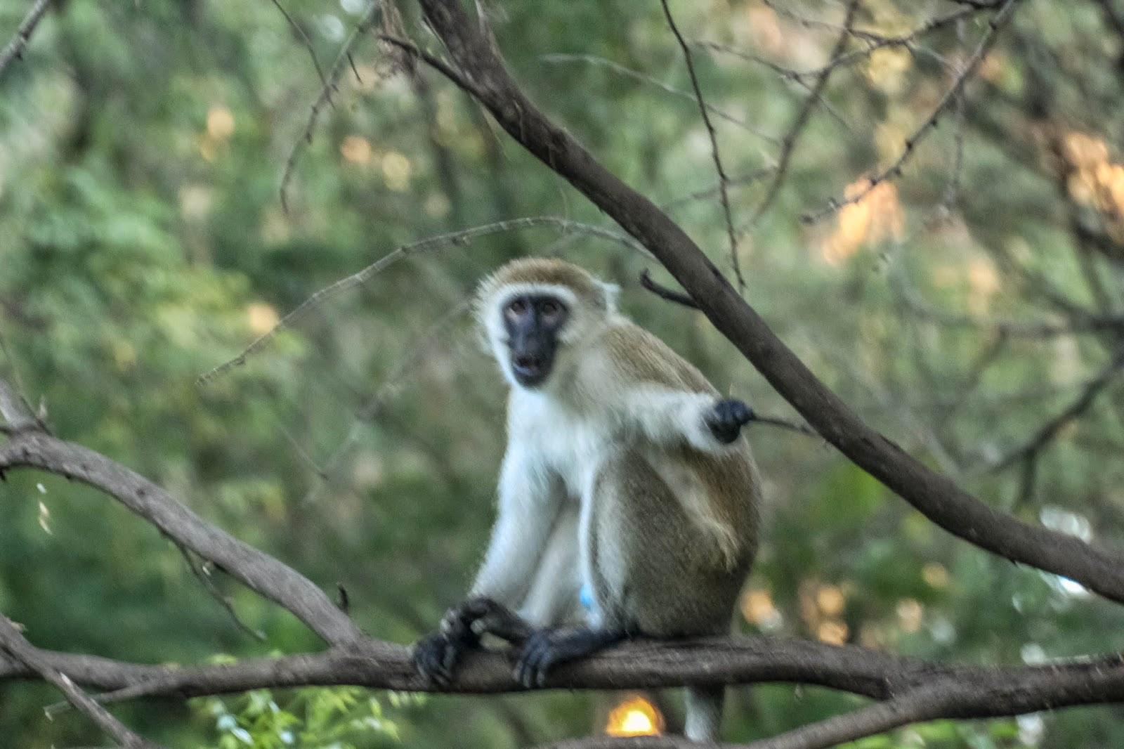 Cannundrums: Vervet Monkey