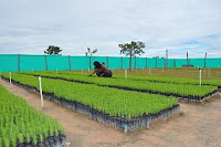 Pinus caribaea in tree nursery.