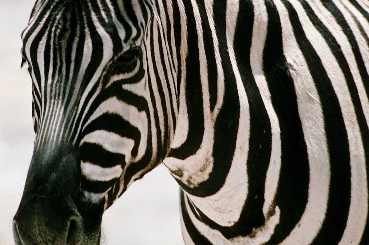 Zebra Faces http://lilamoonlight.blogspot.com/2011/06/i-see-zebra-everywhere.html