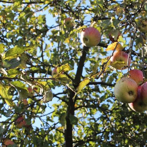 Tarta z twarożkiem, cynamonem i prażonymi jabłkami