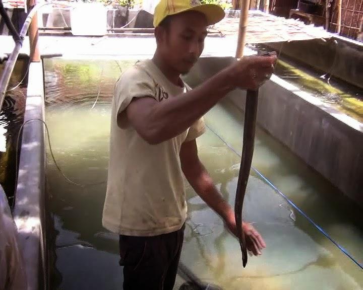 cara budidaya ikan sidat