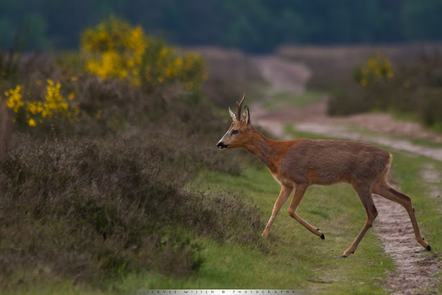 Reebok steekt pad over- Roe Deer crossing a path
