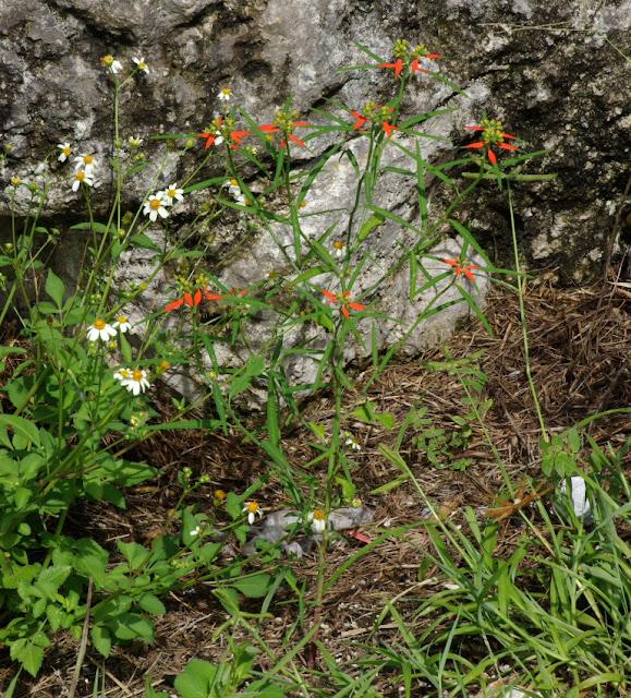 Euphorbia cyathophora - Poinsettia cyathophora - Wild Poinsettia