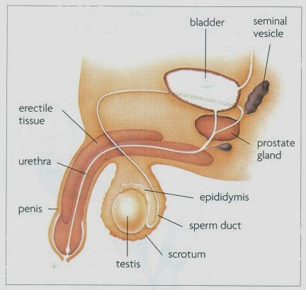 How To Insert Male Organ Into Female Reproductive System