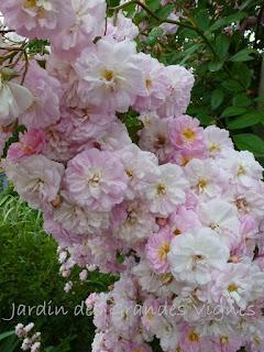 Le jardin des grandes vignes rosier parfum d 39 evita - Le jardin des grandes vignes ...