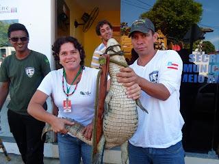 No dia 11 de junho, a equipe de Fiscalização Ambiental da Secretaria de Meio Ambiente de Porto Seguro capturou um jacaré fêmea da espécie papo amarelo.