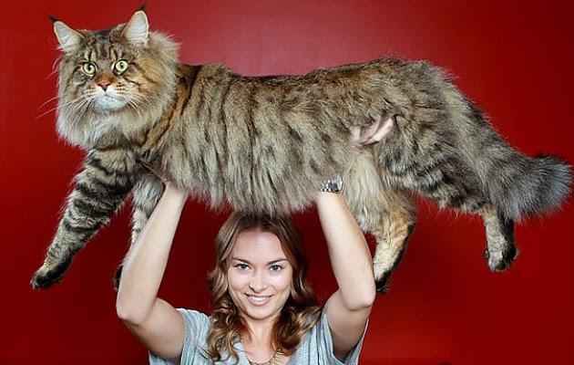 Kucing Ini Memiliki Bobot Super Berat