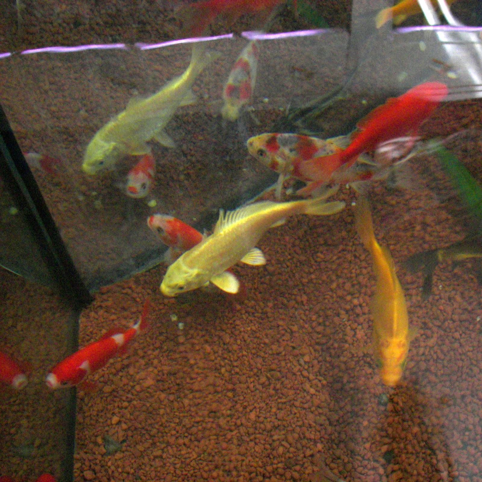 De mascotas y entrada de peces para estanque for Diseno de estanques para peces