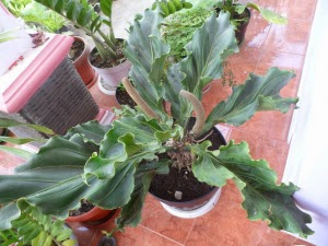 tanaman-hias-indoor-anthurium