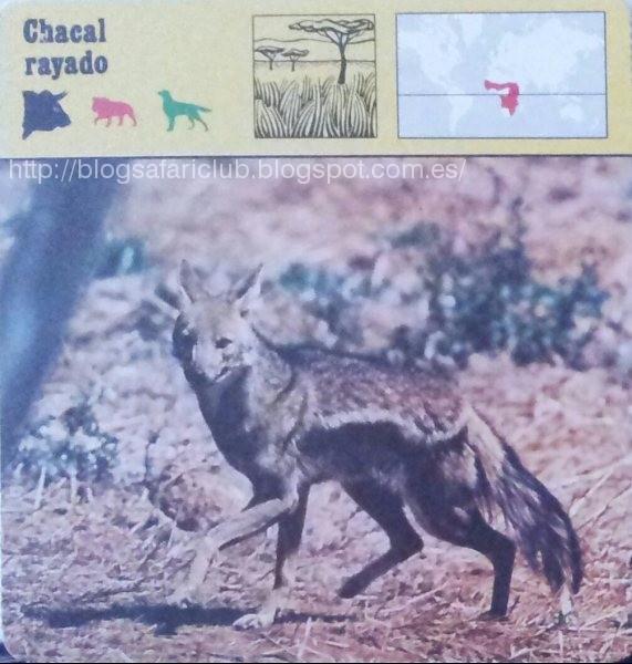 Blog Safari club, el Chacal rayado
