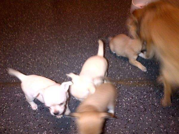 Cute Puppy Dogs: brown chihuahua puppies