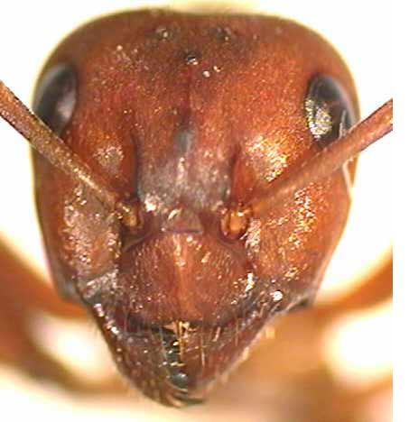 Unique Thread The Original Face Of Ant