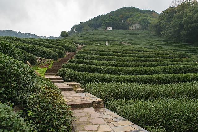 Escalier parmi les plantations de thé à Long Jing