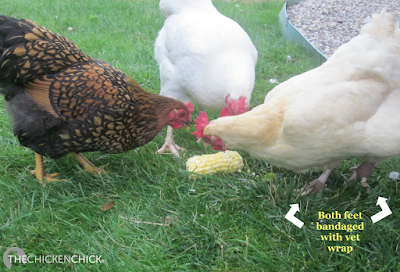 Hen is returned to the backyard after bumblefoot surgery