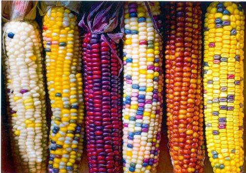 Diferentes tipos de maíz que se cultiva en México u el Mundo