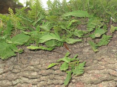resurrection fern:  City Park, NOLA
