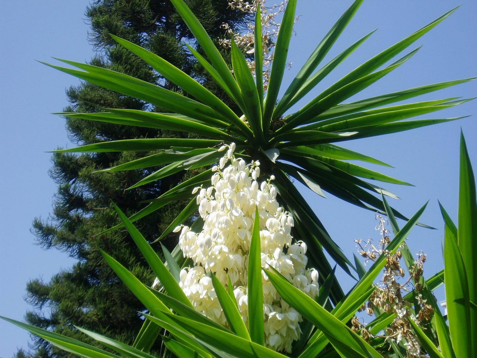 Yuca yucca elephantipes plantas riomoros for Planta yuca exterior