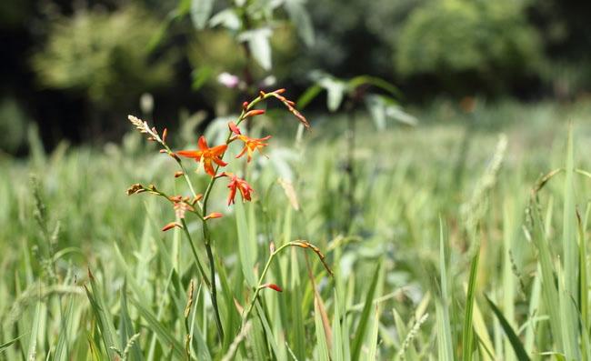 Montbretia Flowers Pictures