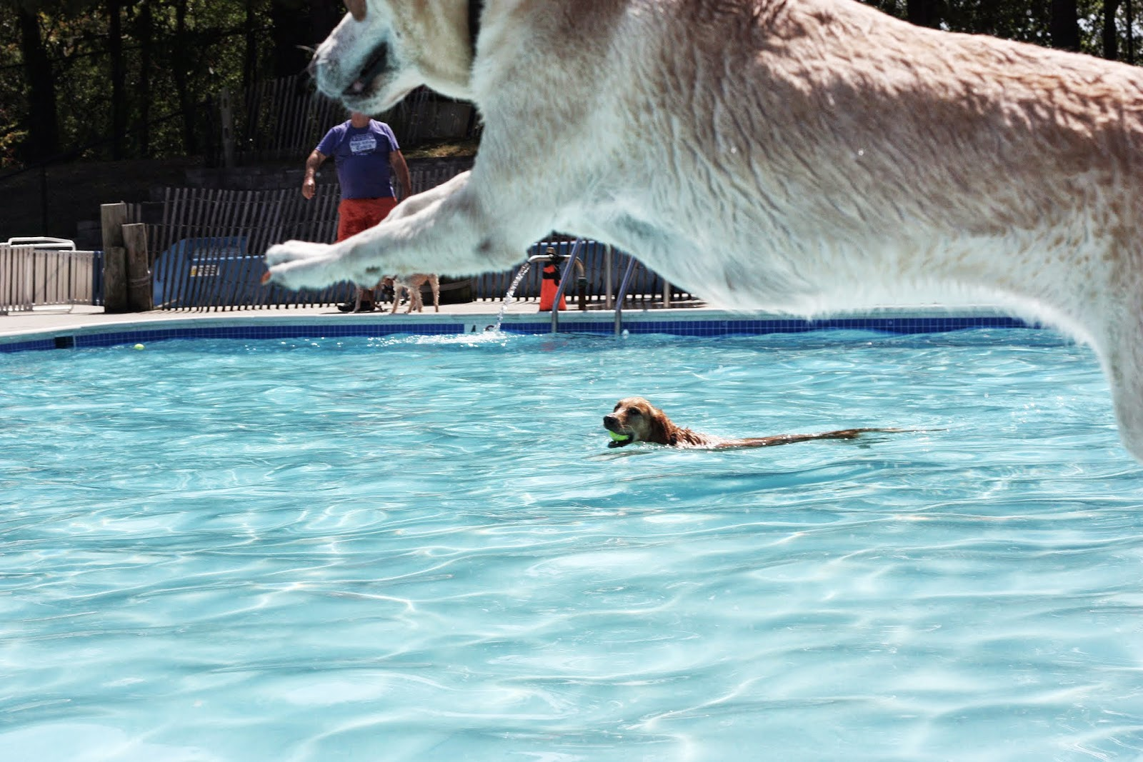 lab jumping into pool