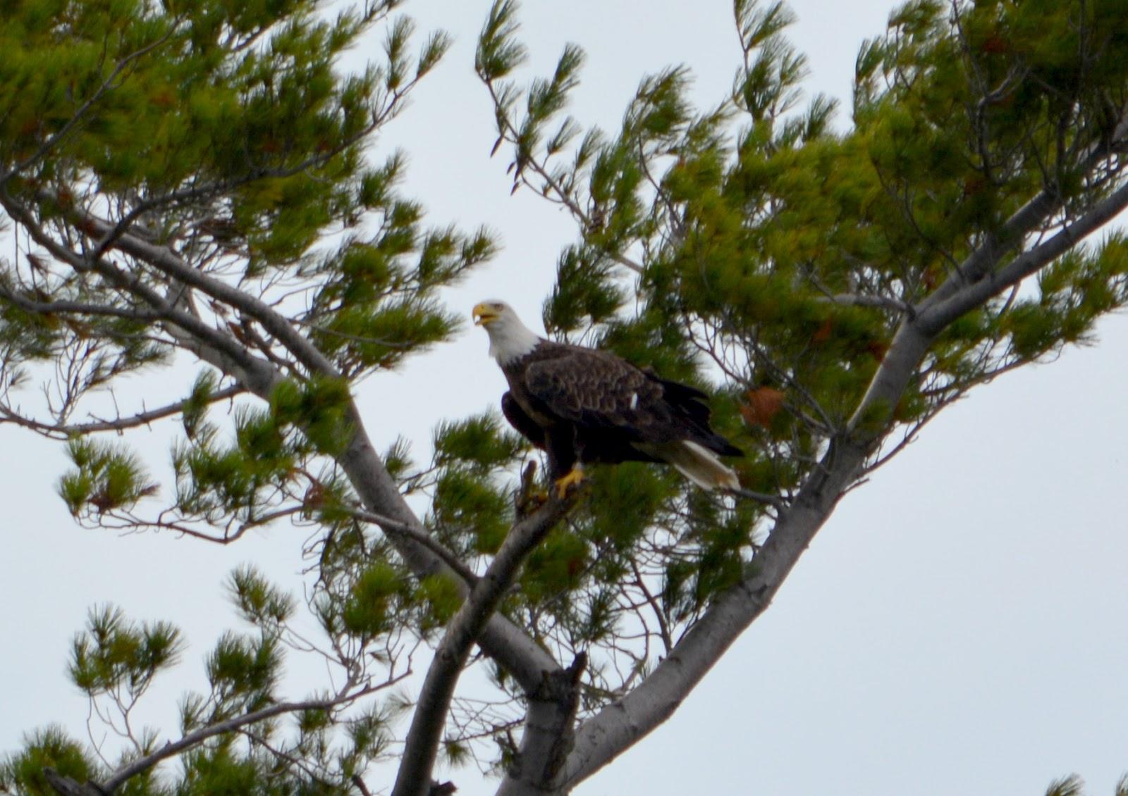 cozy birdhouse   bald eagle at lake george