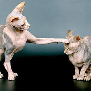 gambar kucing devon rex