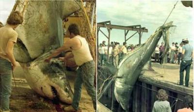 Gran tiburón blanco capturado en Canadá en 1988
