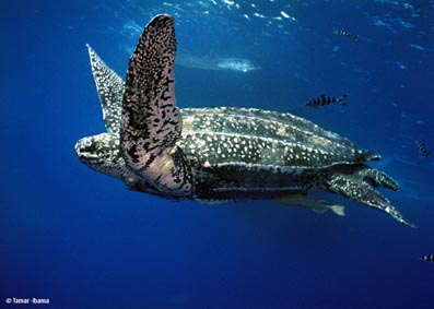 Most Amazing Almost Extinct Animals Leatherback Turtle