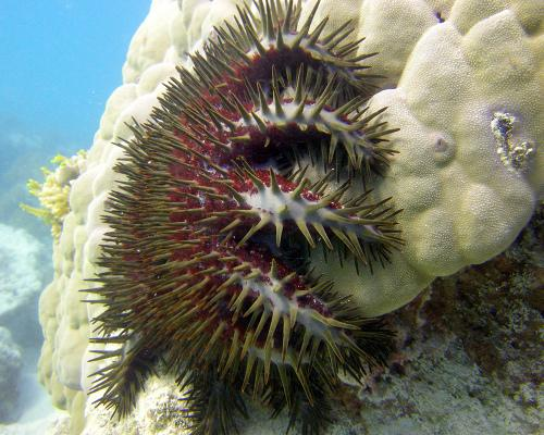 Weird Marine Sea Creatures Behaviors - Crown of Thorns Starfish