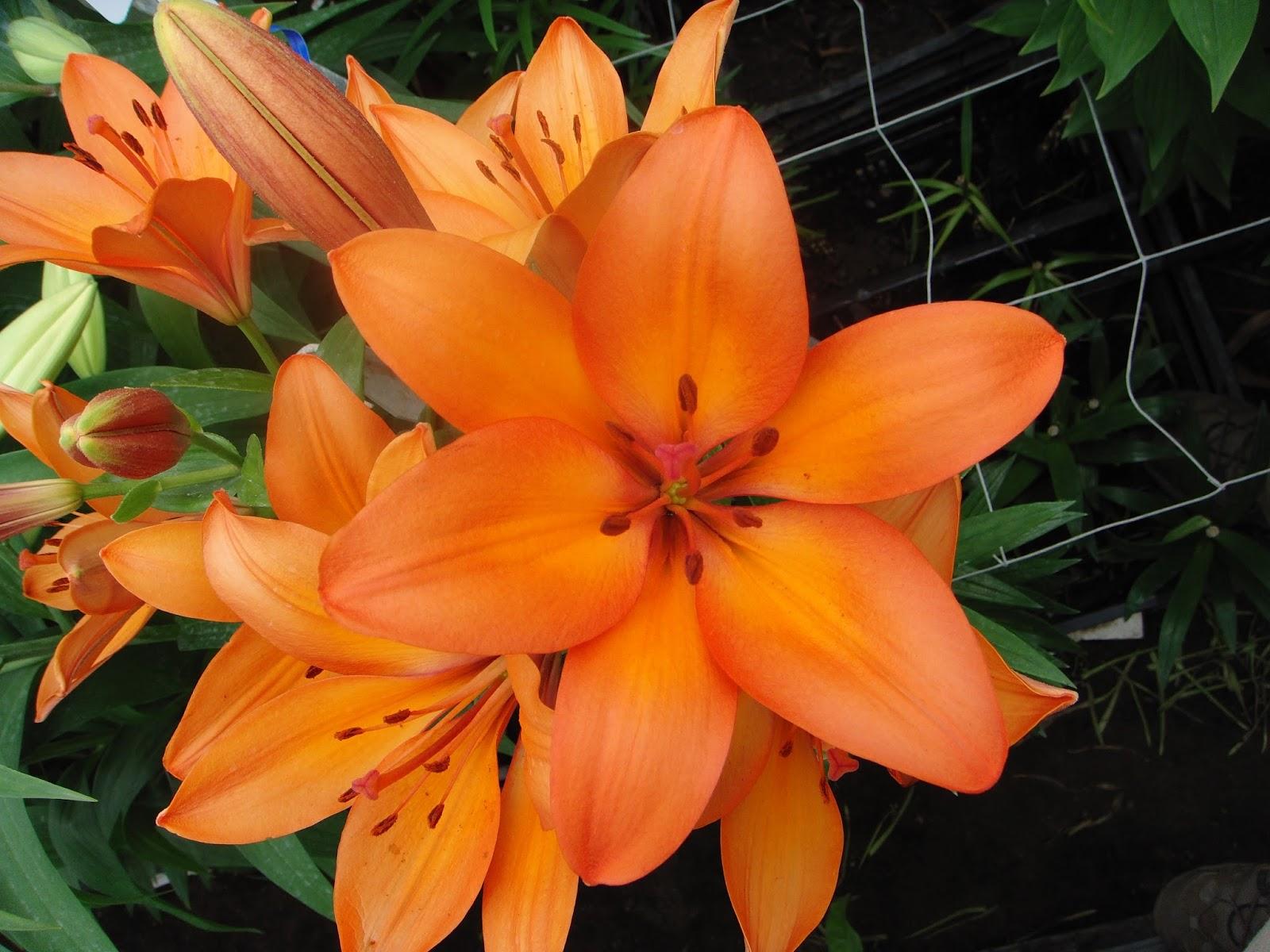 What makes a lily so royal flower talk orange la hybrid royal lily sun valley izmirmasajfo